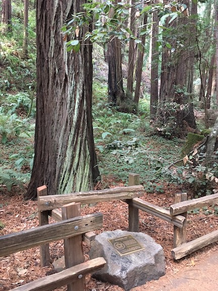 Muir Woods Bicentennial Tree