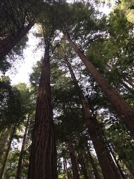 Muir Woods Looking Up